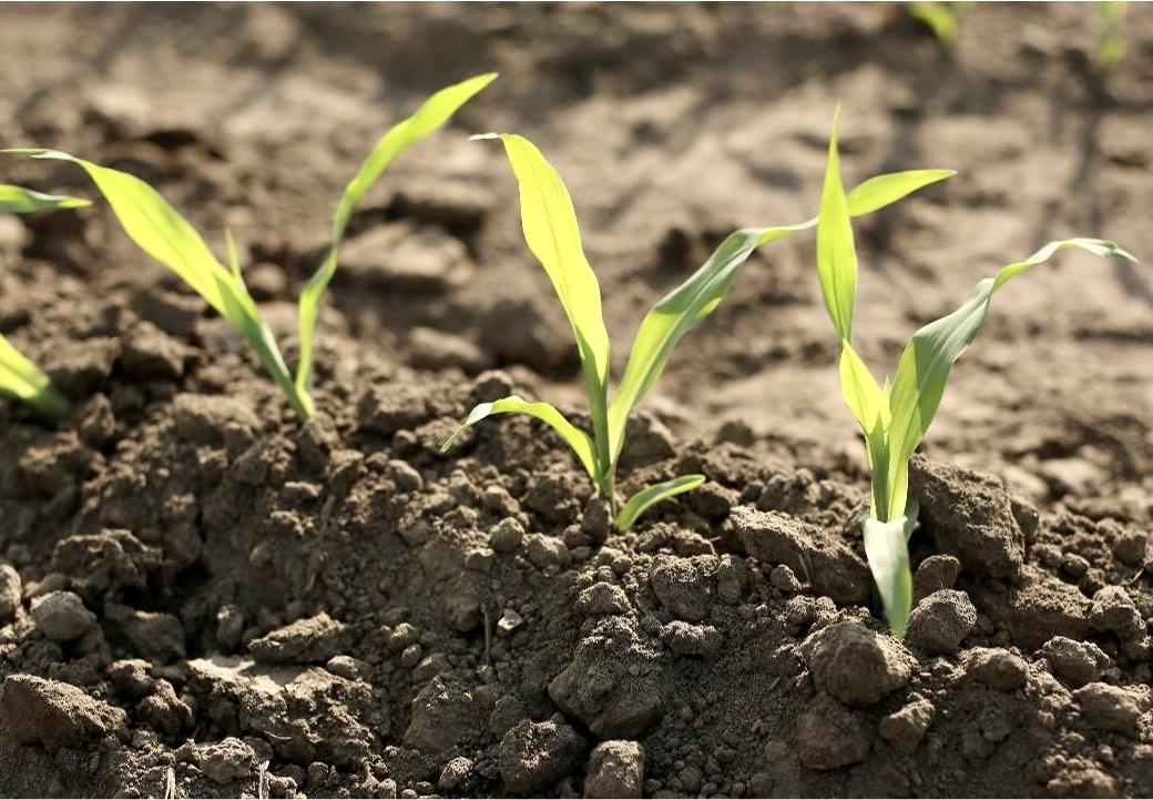 Se vienen los maíces de baja estatura